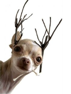 This Chihuahua REALLY wants to be a reindeer. LOL #dogs #animal #chihuahua