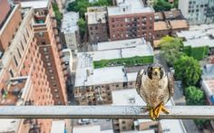 "Luke Massey is awarded the young environmental photographer of the year 2016 for his bold photograph 'Poser'. ""Peregrines were extirpated in Illinois in the 1960s but in the 1980s a reintroduction programme began and now 22 pairs nest in Chicago alone,"" he explains. ""One pair have chosen a Chicagoan's condo balcony as their nest site and in 2015 I followed them as they raised 4 chicks to fledging."" Described by naturalist and broadcaster Chris Packham as an 'exceptional young man', Luke…"