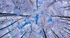 This HD wallpaper is about Looking Up Through Trees, Winter, white leafed trees, Seasons, Original wallpaper dimensions is file size is Computer Wallpaper Hd, Widescreen Wallpaper, Wallpaper Backgrounds, Iphone Wallpaper, Winter Backgrounds, Mobile Wallpaper, Winter Wallpaper Desktop, Tree Wallpaper, Nature Wallpaper