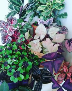 colourful foliage #oxalis #fittonia #begonia #iresine #calathea #peperomia #syngonium #ludisia