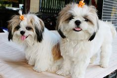All Funny: Funny Shih Tzu Puppies 2013 Photography