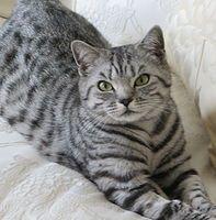 Jorjeez Black Silver Tabbies Spotted British Shorthair Cats Kittens Jorjeez Cats Kitte British Shorthair Kittens British Shorthair Cats British Shorthair