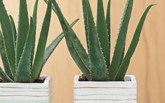 Two aloe plants in colorful striped pots. Indoor Garden, Garden Art, Indoor Plants, Garden Design, Farmhouse Landscaping, Garden Landscaping, Wholesale Plants, Lucky Plant, Inside Plants