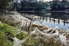 An amazing natural landscape installation. Spider webs cover the landscape in the wake of flooding.