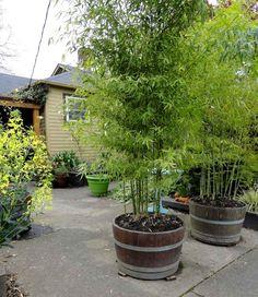 altes Holz-Fass statt Pflanzgefäß für die Bambuspflanzen