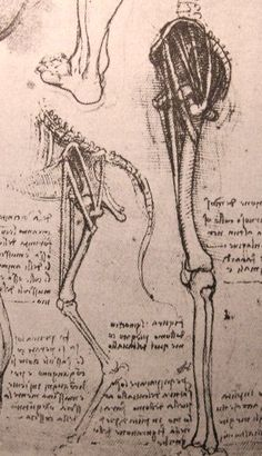 Drawing of the comparative anatomy of the legs of a man and a cow - by Leonardo da Vinci