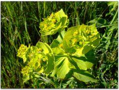 euphorbia serrata (hierba lechera, lechetrezna) Hierba perenne con latex. Florece en marzo-junio.