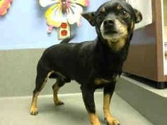 #A443277 (Moreno Valley CA) male, black and tan Chihuahua - Smooth Coated mix. The shelter thinks I am about 6 years old. I have been at the shelter since Dec 01, 2014 and I may be available for adoption on Dec 08, 2014 at 4:49PM. https://www.facebook.com/135559229932205/photos/a.382565775231548.1073741961.135559229932205/395036147317844/?type=3&theater