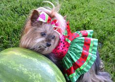 Dresses yorkie and christmas dresses on pinterest