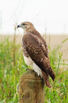 Wild Red-tailed Hawk by cmcneill17 via http://ift.tt/2cBogWG