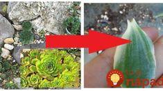 Jediný list z tejto rastliny vylieči zápal ucha, nádchu aj kurie oko: Nenápadný zázrak zo skalky, na ktorý sa nechytá ani Aloe Vera!