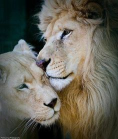 A tender moment these lions are truely in love with eachother and it is so sweet it kinda reminds me oof the lion king you know simba and nana and the second movie too and it is good love connection
