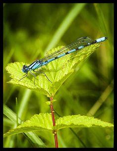 Blue Dragonflys on flower, via Flickr.