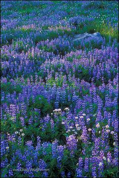 Picture of purple lupines in central oregon 39 s canyon creek for Indoor gardening rainier oregon
