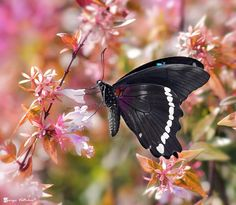 green banded swallowtail