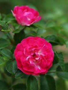 Little Mischief ~ Shrub Rose