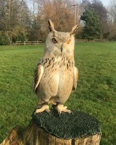 "Great horned owl [Bubo virginianus] unfortunately in captivity. Recognizable by the leather ""catch straps"" on the legs. Funny Animal Videos, Cute Funny Animals, Cute Baby Animals, Animals And Pets, Wild Animals, Funny Owls, Beautiful Owl, Animals Beautiful, Beautiful Pictures"