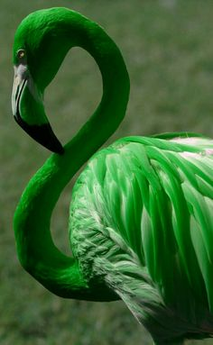 A green flamingo?