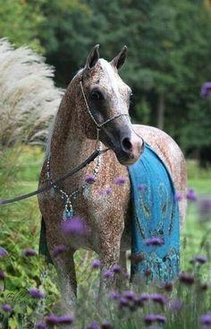 Pretty flea bitten grey arabian horse