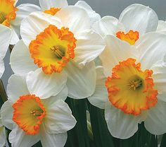 For landscapers trying to outsmart the deer, daffodils are a cheery option from which deer will stay far away! Easy to grow, daffodils flowers are typically known to be white or yellow, like this 'Narcissus Sound' variety from White Flower Farm, but varieties of pink, red and orange are available as well.