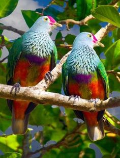 Mariana Fruit Doves