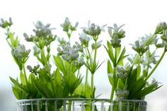 Sweet Woodruff is a great herb for infusing jellies, cremes and tipples. It scents and tastes of vanilla, Amaretto, rose, and lime. Delicious Recipes, Yummy Food, Sweet Woodruff, Germany, Heaven, Herbs, Live, Drinks, Garden