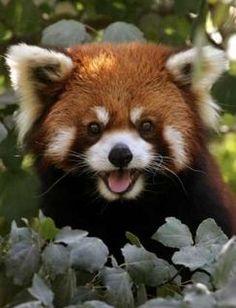 Red Panda                                                                                                                                                                                 Mehr