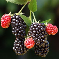 Cheap seed heirloom, Buy Quality seeds chinese directly from China seed bead stretch bracelet Suppliers: Bonsai Rubus fruticosus Seeds Delicious Black Berry Seeds Home Garden Tree Plants Seed Blackberry Tree, Blackberry Plants, Blackberry Bramble, Thornless Blackberries, Growing Blackberries, Zone 5 Plants, Plant Zones, Fruit Bushes, Fruit Trees