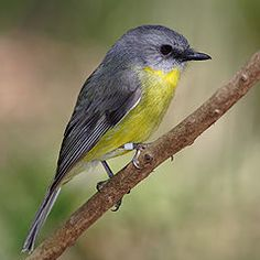 Eopsaltria australis, es una especie de ave Passeriformes, perteneciente a la familia Petroicidae, del género Eopsaltria.