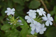 light blue Plumbago flowers