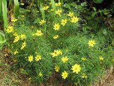 Threadleaf Coreopsis   ... Wise Pollinator Gardens: Threadleaf Tickseed (Coreopsis verticillata