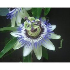 Blue/White Passion Flower - Passiflora - Potted
