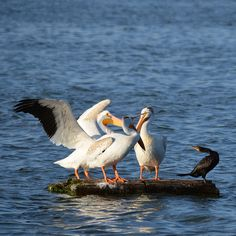 Great White Pelicans and a Cormorant at Windsor Lake in Weld County, Colorado. Arapahoe Indians, State Birds, That One Friend, Blue Heron, Bird Species, Windsor, Colorado, Aspen Colorado, Grey Heron