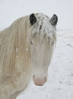 A white snow horse with blue eyes and black ears