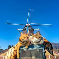 Cats Fuku-Chan and Daikichi find fame travelling around the world - Ego - AlterEgo Funny Cat Photos, Funny Cat Videos, Funny Cat Games, Kittens Cutest, Cats And Kittens, Funny Cats Youtube, Happy Birthday Funny Cats, Funny Cat Wallpaper, Funny Cats And Dogs