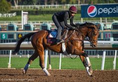 Tom's Tribute on the track at Santa Anita Park on October 2014 preparing for the Breeders' Cup Mile. Photo By: Chad B. Horse Racing News, Race Horses, Santa Anita Park, Thoroughbred, Wild Horses, Riding Helmets, Beautiful Pictures, Kitten, October