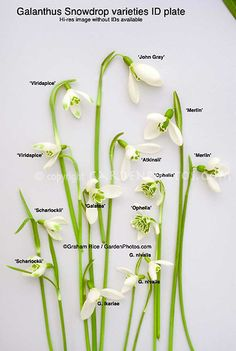 Snowdrops studio (Galanthus), cut flower variety mixture in winter spring bulb bloom, ready for pressing pressed flower arrangement. Varieties include (from top left clockwise, exteriors): Viridapice,