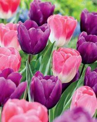These bulbs produce gorgeous pink and purple tulips that add splendor to your garden. Note: This item will ship the week of Sept. Bulb Flowers, Tulips Flowers, My Flower, Daffodils, Pretty Flowers, Spring Flowers, Purple Tulips, Pink Purple, Light Purple