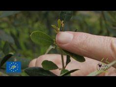 Λίπανση ελιάς / Fertilizing olive trees - YouTube Olive Tree, Home And Garden, Plants, Youtube, Trees, Gardening, House, Home, Tree Structure