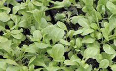 Wo die Sommergemüse das Beet räumen, entsteht Platz für Gemüse und Salate, die man im Spätherbst und Winter erntet. Feldsalat gehört zu den Klassikern, die Aussaat ist ab Juli möglich.