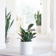 Sansevieria are possibly the most low maintenance of all low maintenance plants. The Black Star features dark green leaves edged in yellow that grow in a rosette formation. These plants can do just fine in low light areas, but place them in bright indirect light it you want them to grow more quickly and develop pups. Plant Lighting, Low Maintenance Plants, Office Plants, Yellow Leaves, Snake Plant, Plant Sale, Terracotta Pots, Black Star, Succulents Garden