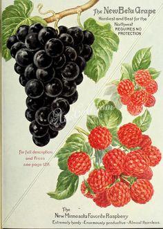 090-G-apes, Raspberry      ...
