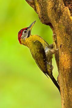 Laced Woodpecker (Picus vittatus) Cambodia, Indonesia, Laos, Malaysia, Myanmar
