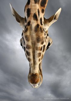 Here's another one from last year's Wildlife Bootcamp in Spain. The animals sometimes came very close to us, as did this giraffe. Dark rain clouds were forming overhead, which I thought would make a great backdrop for the warmer colors of the giraffe. I decided to go for a very unusual angle when the giraffe was towering over me. Shooting straight up gave this slightly confusing perspective that really shows how tall these graceful animals actually are. One of my favorite shots of the tr