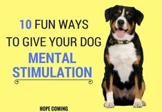 Do you feel exhausted in front of your dog's never-ending energy even though she gets enough exercises? Mental Stimulation is as important as Physical Stimulation, Dogs need a purpose or some work to do in order to remain calm and well behaved. You don't even have to shell out huge amounts of money on it, some are 100% free and fun ways like Hide and Seek, the Name Game, Check it out. Dog mental Stimulation Toys | Dog mental Stimulation Ideas | Dog Mental Stimulation Products | Dog mental…