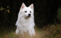 Japanese Spitz, Nihon Supittsu, domestic dog, white fluffy dog, green grass, cute animals