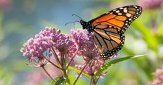 A monarch butterfly perches on a pink swamp milkweed plant. Monarch Butterfly Meaning, Butterfly Weed, Butterflies, Swamp Milkweed, Milkweed Plant, American Meadows, Monarch Caterpillar, Cash Crop, Plant Identification