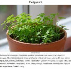 8 трав и пряностей, которые легко вырастить на кухне <br><br>Хозяйкам на заметку 📌