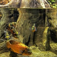 Underwater World - Gdynia, Poland - Graal @ trekearth:) Biotope Aquarium, Saltwater Aquarium Fish, Freshwater Aquarium Fish, Oscar Fish, Aquarium Filter, Tropical Fish, Tropical Aquarium, Underwater Creatures, Paludarium