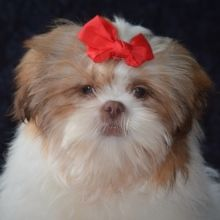 Cedar Shih Tzu Puppy 626223 Puppyspot In 2020 Puppies For Sale Cheap Puppies Pitbull Puppies For Sale